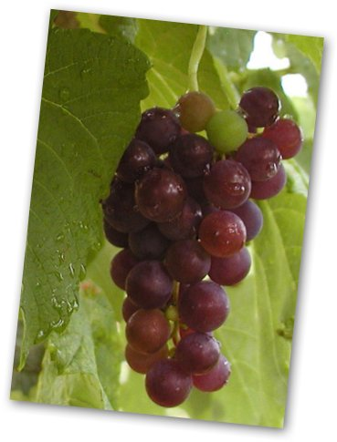image of grapes resveratrol